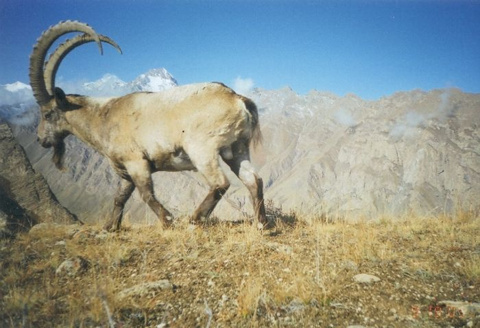 Ibex are a key snow leopard prey species. In Shamshy, they can thrive undisturbed in the future (photo: K. McCarthy)