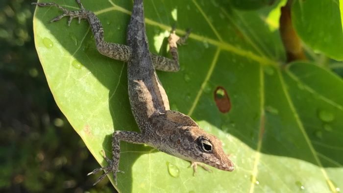 An example of one of the anole lizards studied by Donihue and his team.