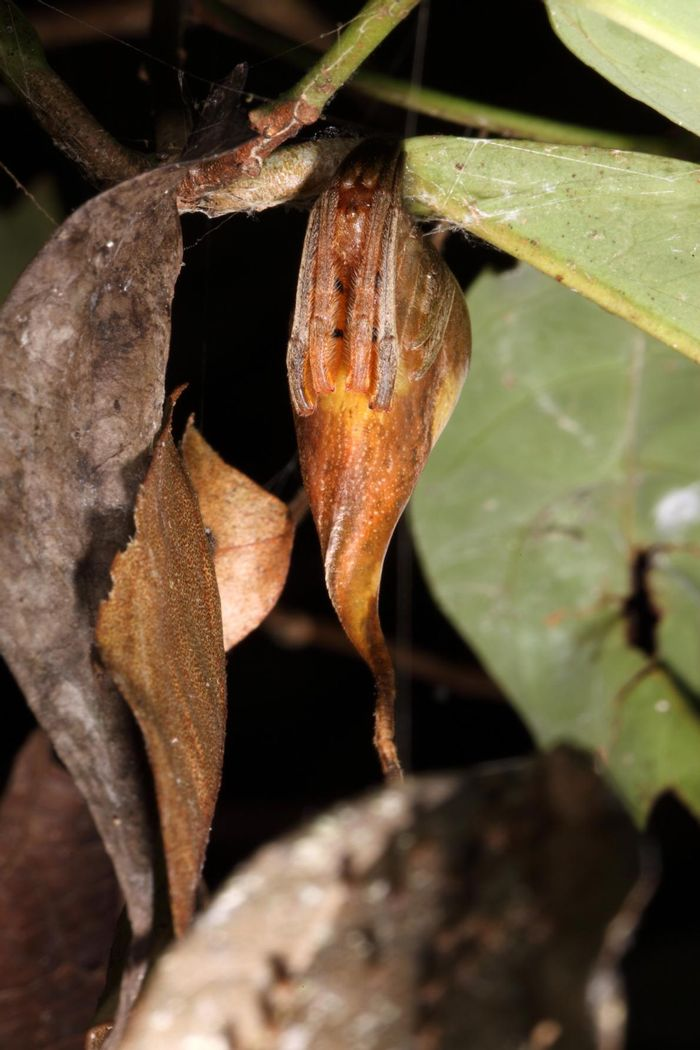Can you tell which is the spider and which is an ordinary leaf?