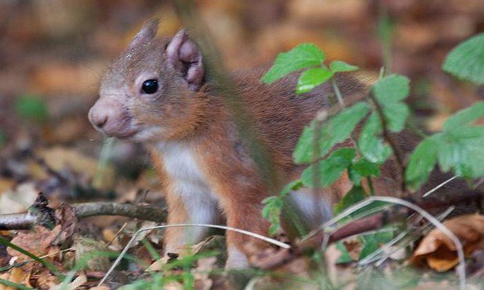 Red squirrel with leprosy on its ear and muzzle. / Credit: Karen van der Zijden/Science