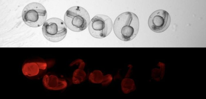 The researchers were able to observe under the microscope that CRISPR-Cas9 did its work and produced the scars in the genome - because then the red glow of the fish embryos faded. / Credit: Microscopic image: Junker Lab, MDC