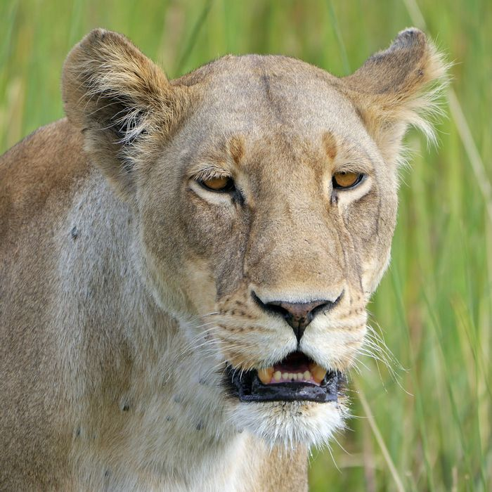 The man-eating lions of Tsavo have a really bad reputation for being hungry for humans.