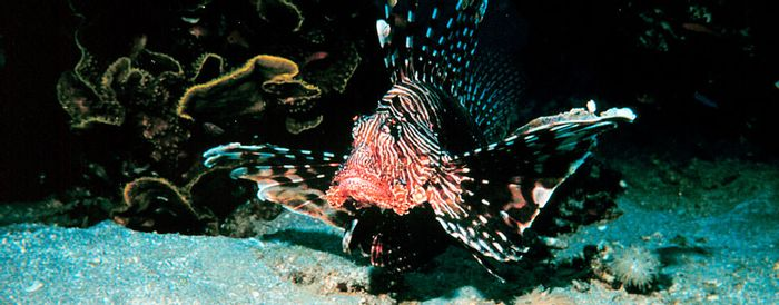 Lionfish are considered an invasive species, and are now found multiplying in the Mediterranean Sea.
