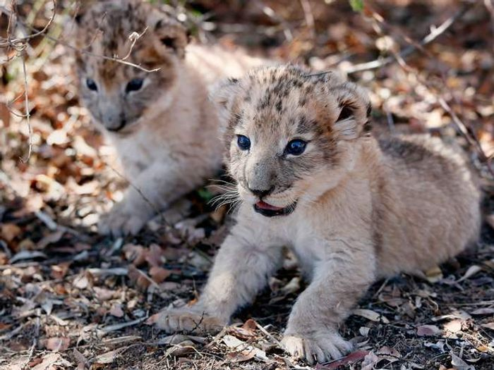 They might look like any other lion cub, but they're actually quite special.