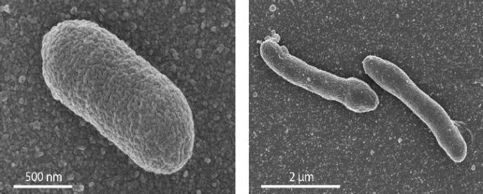 The left panel shows: EM image of a normal E. coli cell. Right panel: an engineered cell with a mixed membrane, which shows an elongated form. / Credit: Photo's University of Wageningen / Van der Oost laboratory