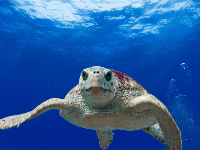 A loggerhead sea turtle.