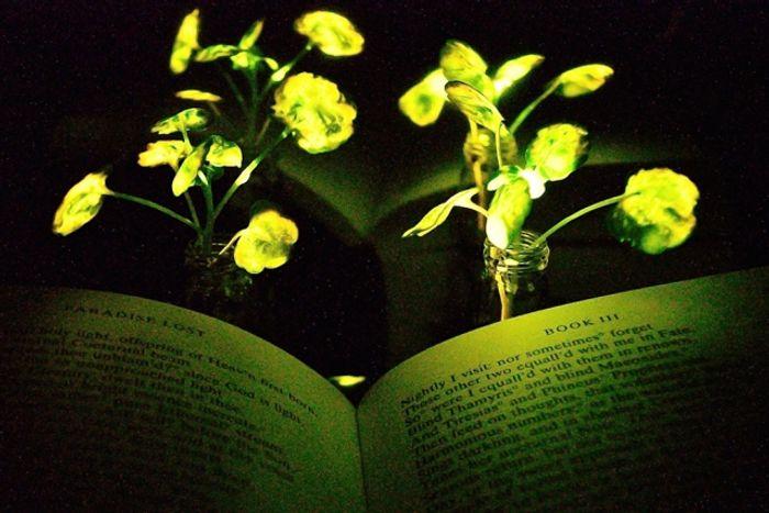 MIT's glowing plants, credit: MIT