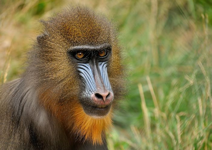 Mandrills check other members' poop for parasites before grooming them.