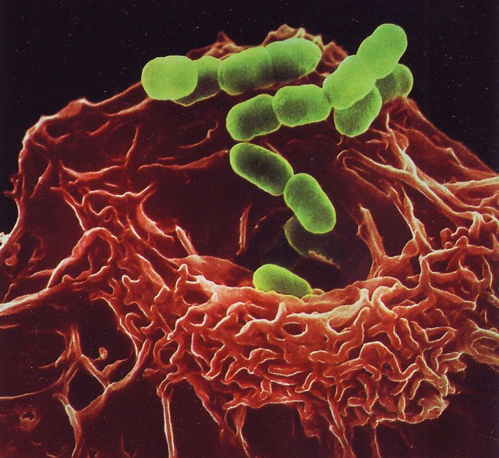 Macrophages send out chemicals to break down bacterial cell walls