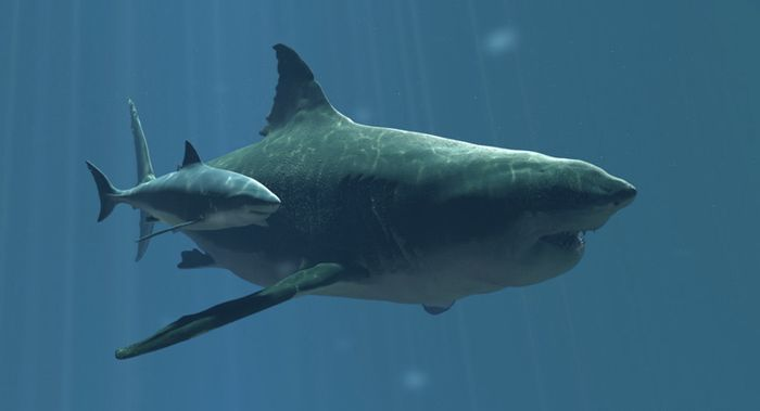 The discovery of a possible great white shark nursery off of the coast of Long Island, New York is exciting scientists.