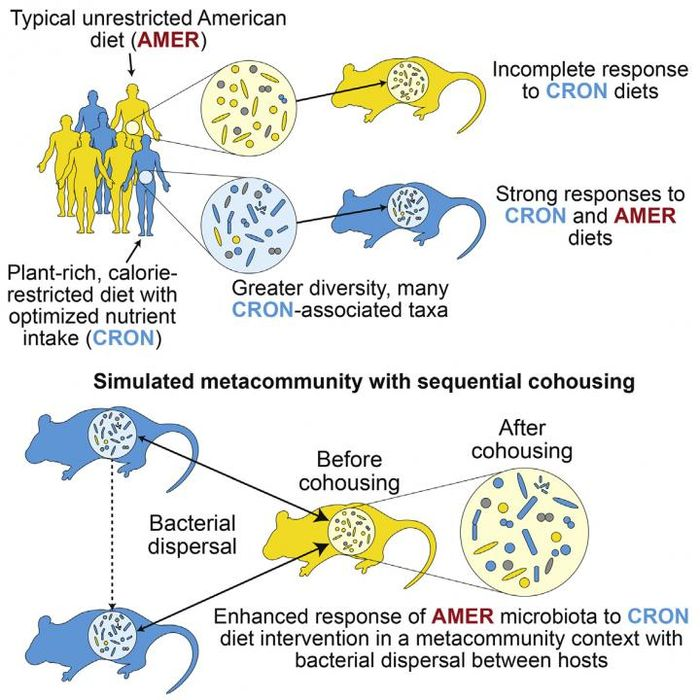 This visual abstract depicts the findings of Griffin et al. that the magnitude of microbiota responses to diet interventions varies among individuals. Dispersal of diet-responsive bacterial taxa between hosts enhance subsequent responses to diet interventions. / Credit: Griffin et al. / Cell Host & Microbe