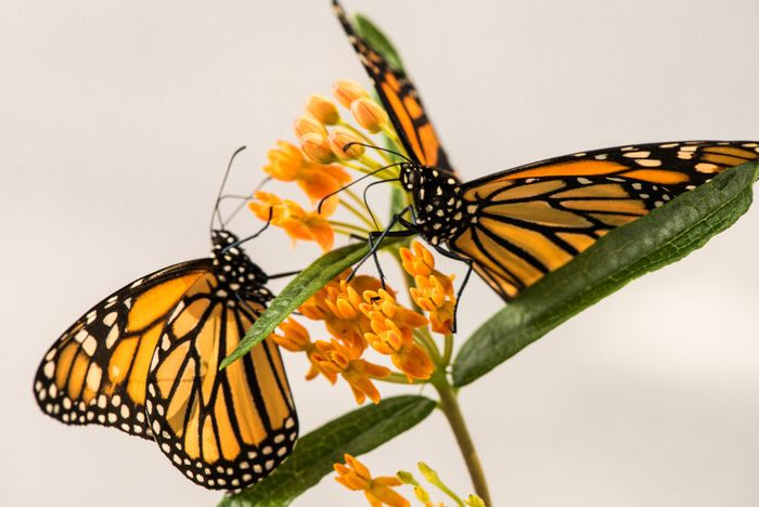 Is there a link between the loss of monarch butterfly migration and the uptick in parasitism?