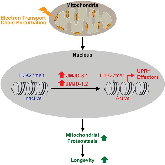 Mitochondrial stress causes changes in enzyme levels that have been linked to increased longevity.