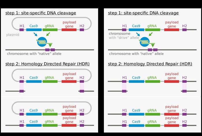 The molecular mechanism of gene drive. Image: Wikipedia
