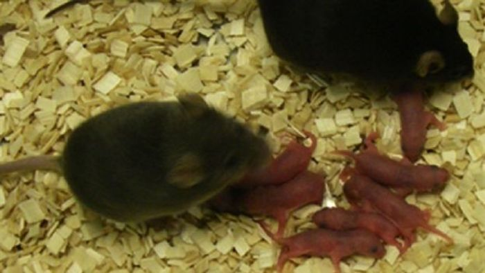 Mouse pups / Credit: Tony Perry