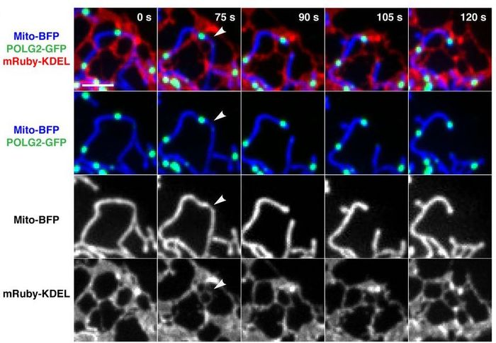 Replicating nucleoids mark sites of ER-mediated division. Representative time-lapse images of a U2OS cell expressing mito-BFP, mRuby-KDEL (ER), and POLG2-GFP, demonstrating mitochondrial division at a mitochondrial-ER contact site spatially linked to POLG2-labeled nucleoid (arrowheads indicate division site). / Credit: Science, Lewis et al