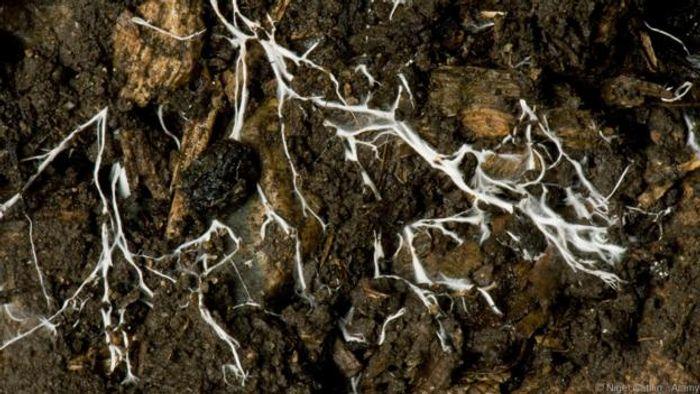 The mycelium of a fungus spreading through soil (Credit: Nigel Cattlin / Alamy)