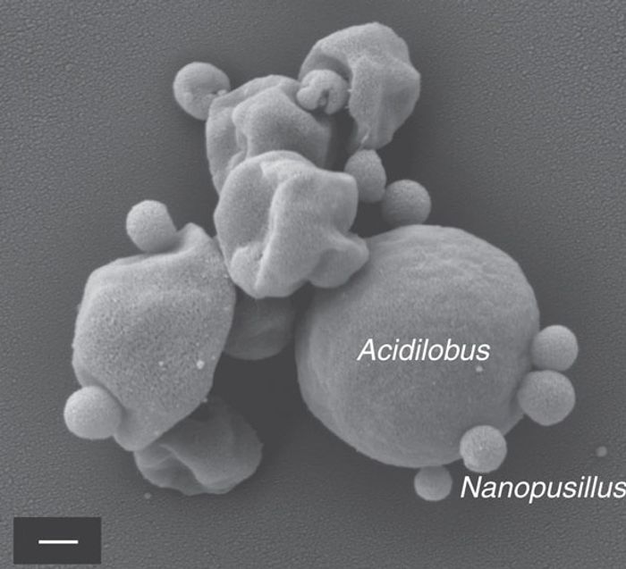 Scanning electron micrographs of N. acidilobi on Acidilobus sp. 7A cells in co-culture. Credit: Nature Communications/Wurch et al