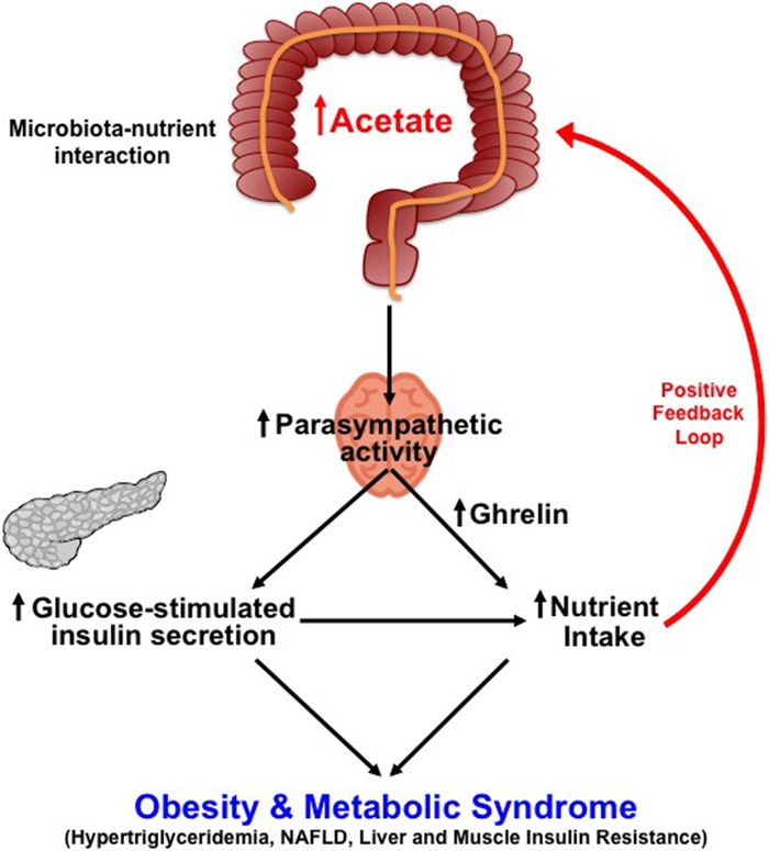The proposed mechanism by which interaction between diet and microbiota drives obesity and metabolic syndrome.