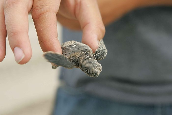 We risk the end of male turtle hatchlings as climate change makes temperatures unfavorably high for incubating nests. Photo: Pixabay