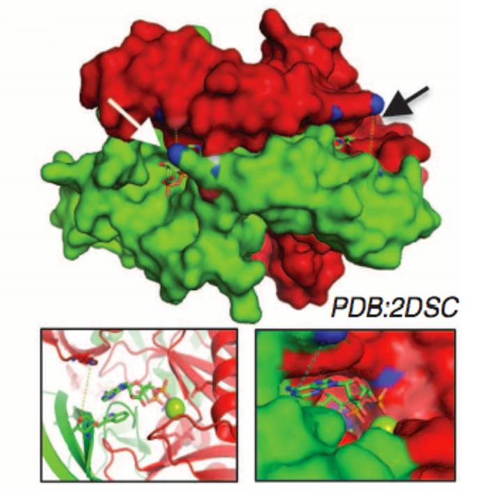 Crystal structure of the NUDIX5 homodimer complex with ADPR and Mg2+ (PDB: 2DSC). Top: Two symmetrical contacts between T45D (blue) and K27 from the complementary chains indicated with arrows. Bottom: View of the active site of T45D with ADPR and Mg2+ (green sphere)