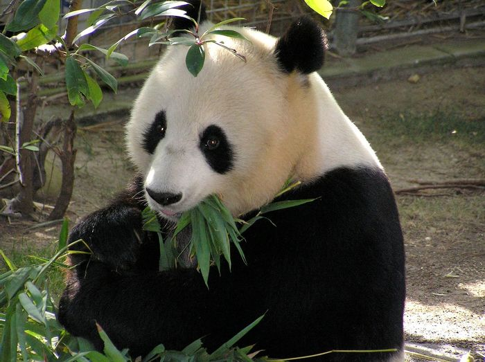 A giant panda gnawing on greens.