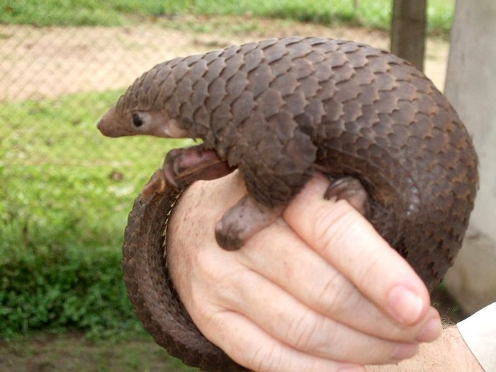 Tree pangolin (Manis tricuspis) in central Democratic Republic of the Congo. Photo by Valerius Tygart from Wikimedia Commons CC BY-SA 3.0.