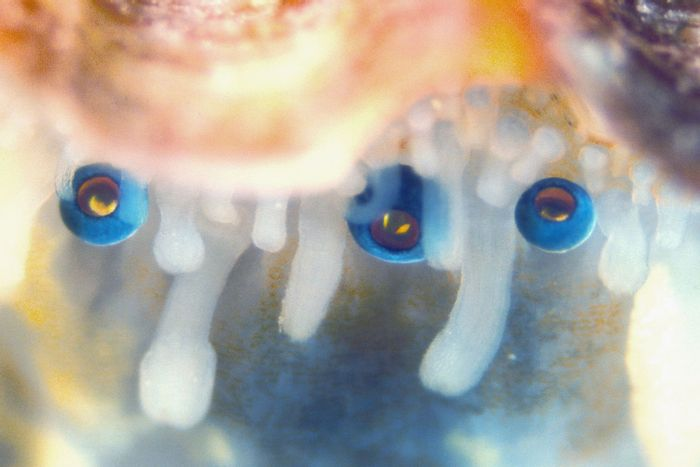 A close-up of the eyes of a scallop.