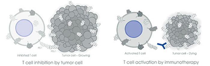 Using PD-1/PD-L1 against cancer in immunotherapy, Credit: abcam