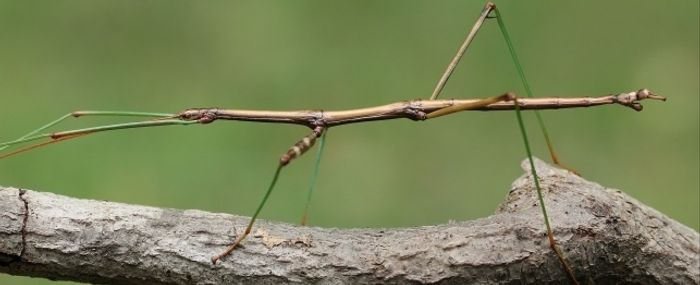Stick insects acquired bacterial genes.