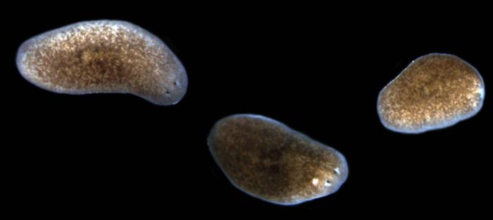 This image shows the progression of lesions and tissue resorption in planarians when exposed to pathogenic bacteria. The normal animal is to the left, while the middle animal displays a characteristic head lesion, and the animal on the right has already lost its head to bacterial infection. / Credit: Chris Arnold, Ph.D.