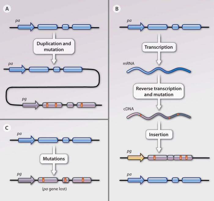 A schematic of the different ways pseudogenes can be introduced into the genome.