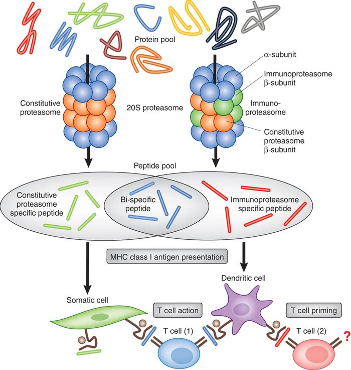 Immunoproteasome Function of the Adaptive Immune System