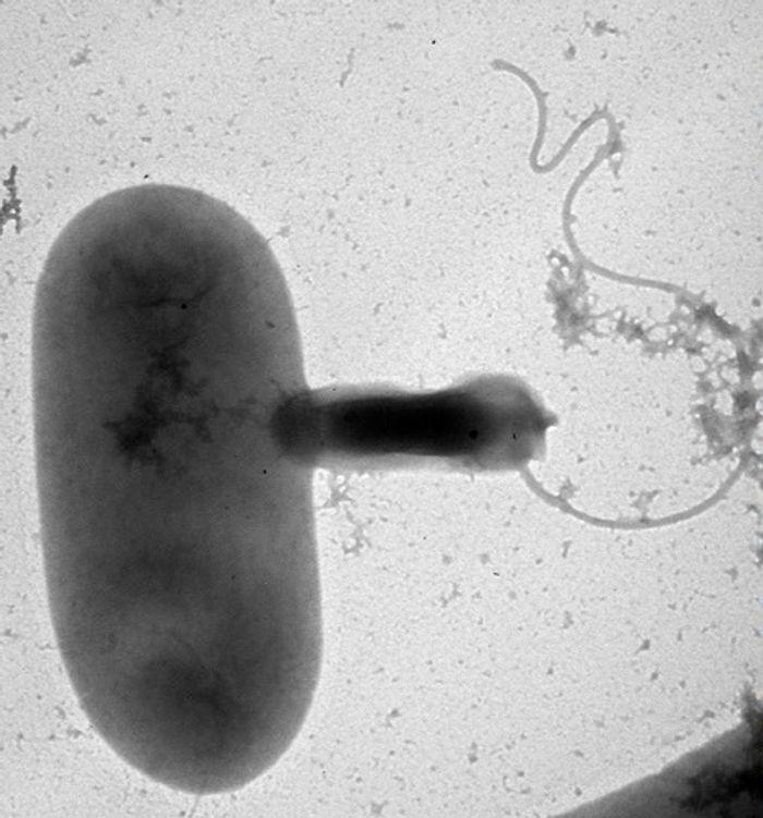 Bdellovibrio (right) preys on a larger cell.