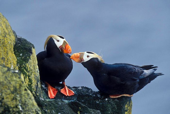 Two tufted puffins engage in a mating ritual on the cliffs of St. Paul. Photo: Patrick J. Endres/ Getty Images