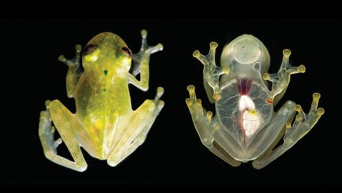 A close-up view of the newly-discovered glassfrog H. Yaku.