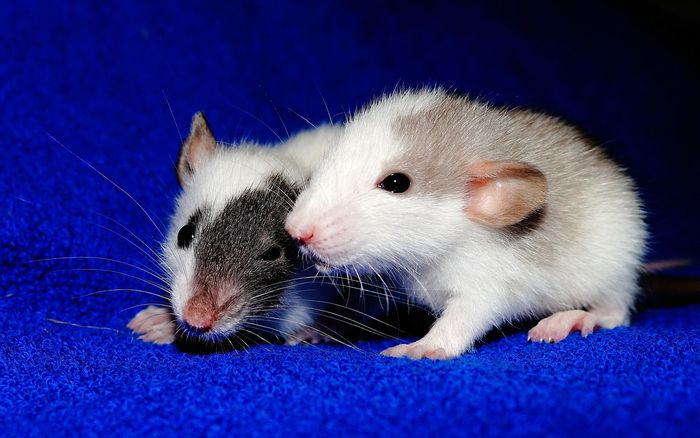 Do rats help one another out? A new study says yes.