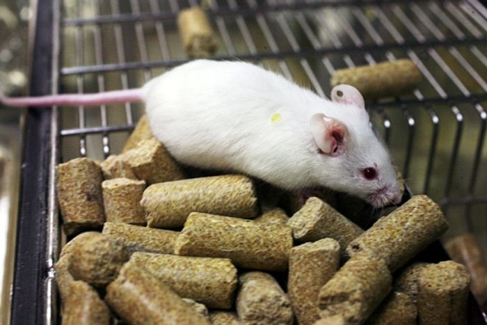 Lights and sound in a game played by lab rats increased their addictive behaviors