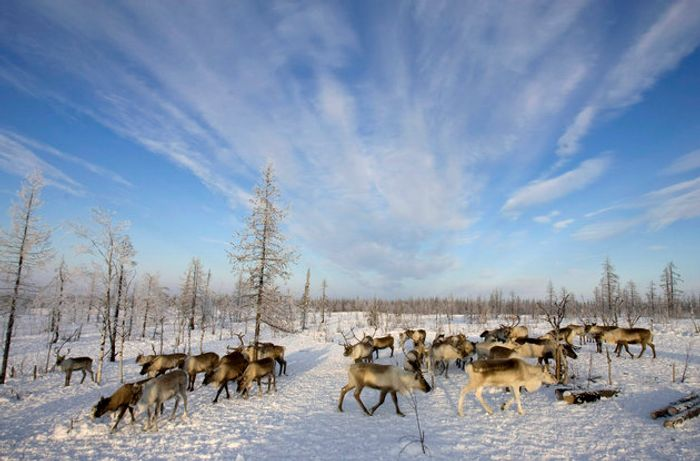 Reindeers graze near a Nenets settlement near the remote village of Gornokniazevsk on the Yamal Peninsula. Photo: The Huffington Post
