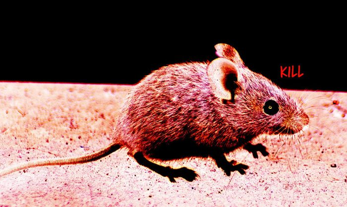 """By """"exciting"""" selected groups of brain cells with light from a surgically inserted probe, researchers could start, stop, and restart aggressive outbursts in the study mice."""