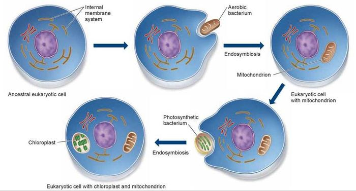 The endosymbiotic origin of mitochondria