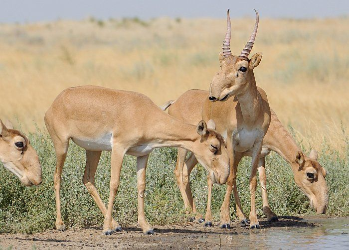 Saiga antelopes are a critically-endangered species, and they're threatened with a new problem.