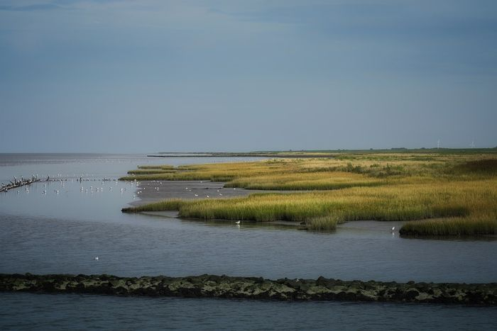 Salt marsh grasses are key to recovery after an oil spill. Photo: Pixabay