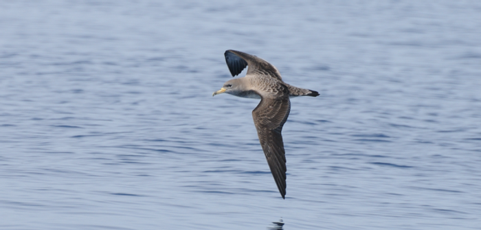 A photograph of a Scopoli's shearwater flying over open water.