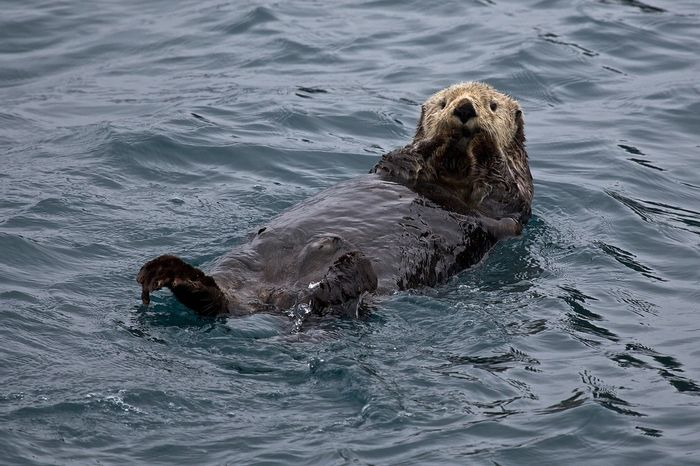 Sea otters are often seen floating on their backs, just like this, as they use rocks as tools to break open shellfish to eat.