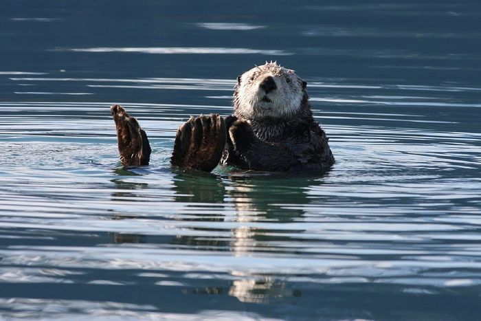 Sea otters are popular along California's coastline. Photo: Pixabay