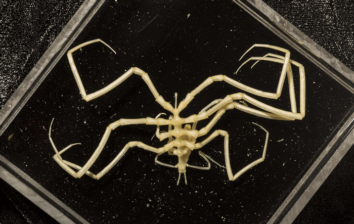 A sea spider, similar to those seen on the deep-sea floor.