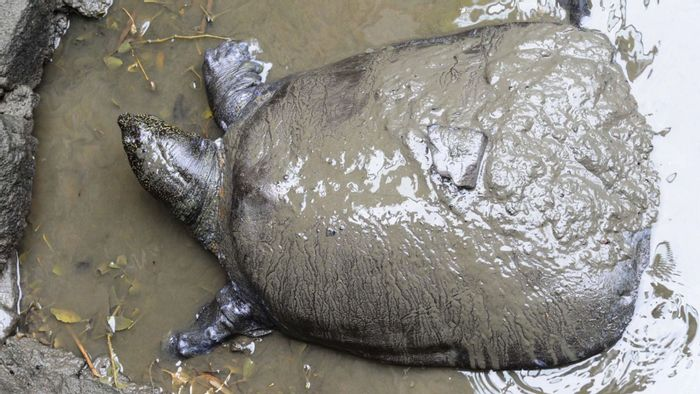 The last-known female Yangtzee giant softshell turtle has died.