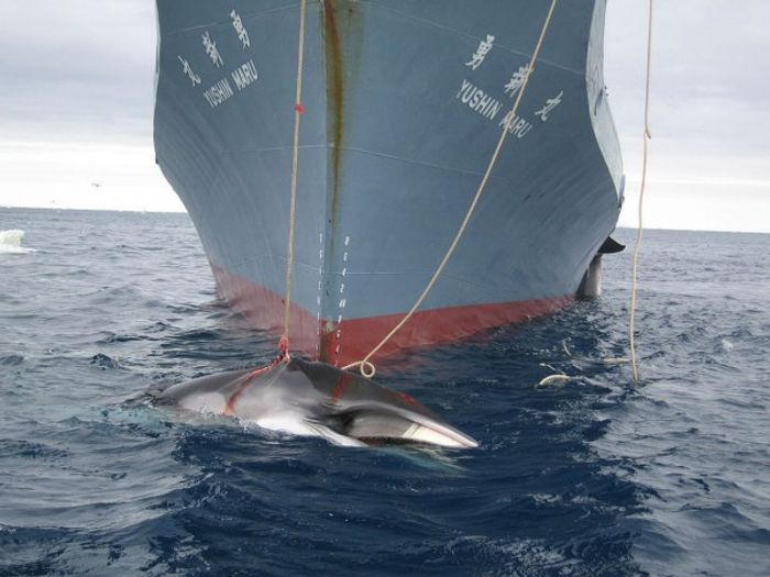 "Japan sends fleets out to capture and kill whales on an annual basis, citing ""science"" as their motive."