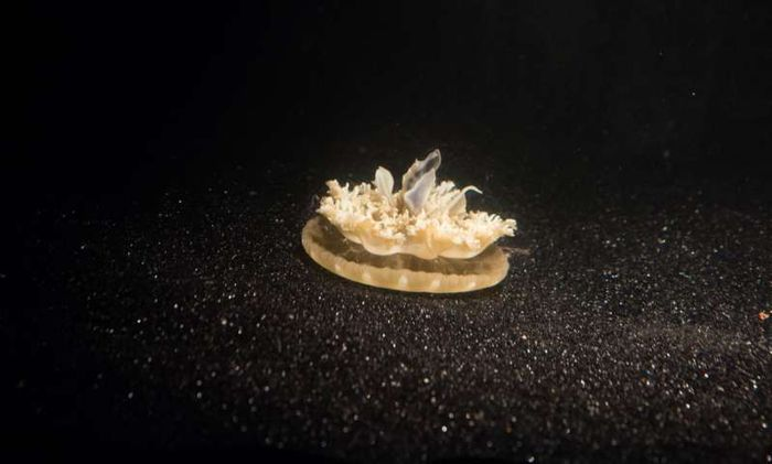 Through contant monitoring, researchers have found that upside-down jellyfish need to sleep, just like other animals.
